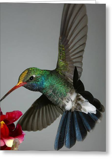 Greeting Card featuring the photograph Broadbill Hummingbird With Pollen Cap by Gregory Scott