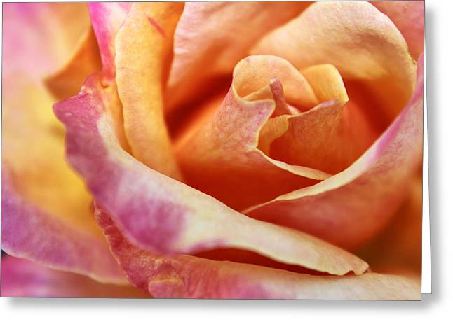 Greeting Card featuring the photograph Broadway Hybrid Tea Rose by Jason Politte