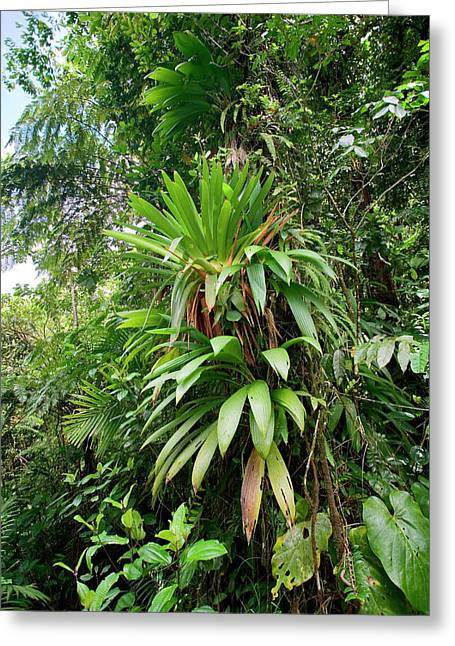 Bromeliad Growing In The Rainforest Greeting Card by Susan Degginger