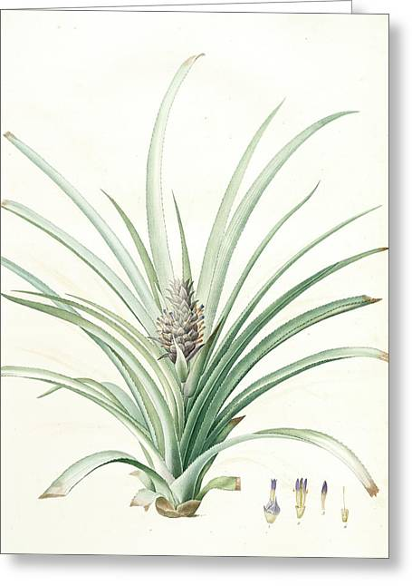 Bromella Ananas, Ananas Sativus Bromella Cultivé Pineapple Greeting Card by Artokoloro
