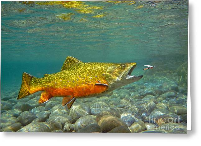 Brook Trout And Coachman Wet Fly Greeting Card by Paul Buggia