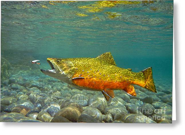 Brook Trout And Royal Coachman Greeting Card