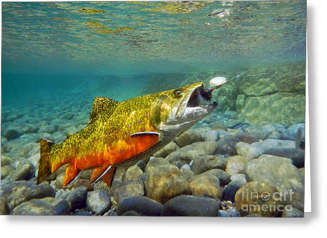 Brook Trout And Spinner Greeting Card