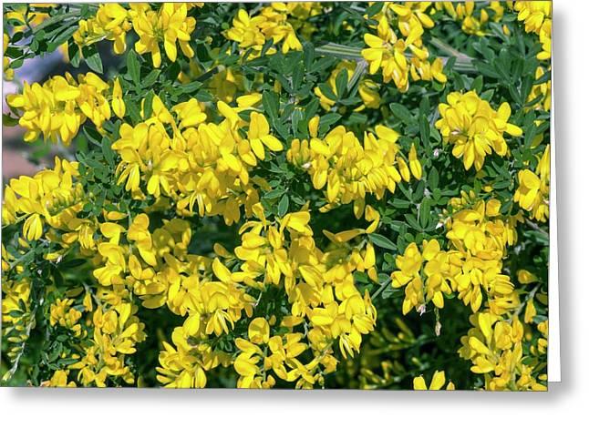 Broom (genista 'porlock') In Flower Greeting Card