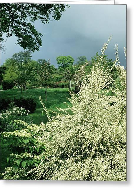 Broom In Flower (cytisus 'albus') Greeting Card