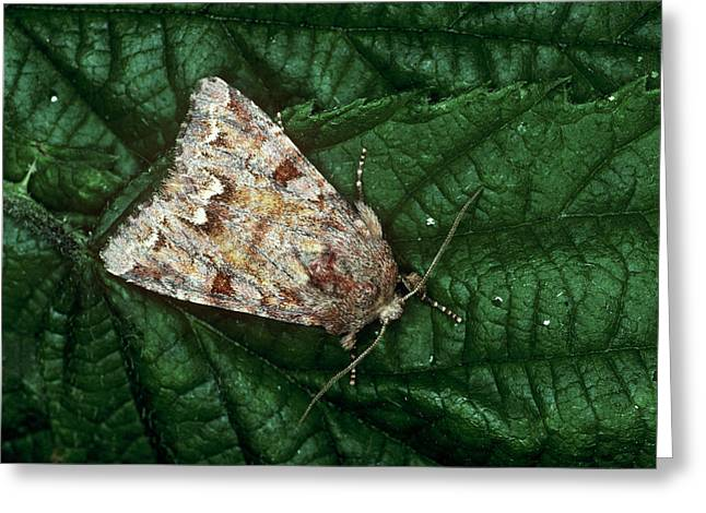 Broom Moth Greeting Card