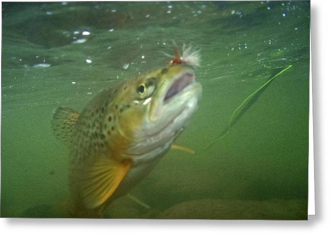 Brow Trout In Gallatin River Greeting Card by Jason Standiford