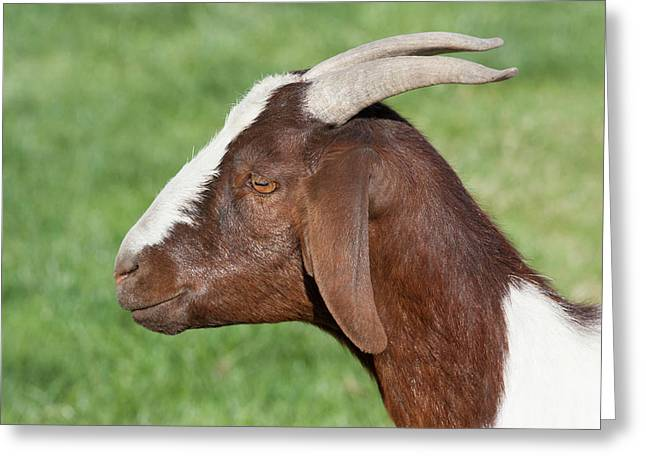 Brown And White Domestic Goat Greeting Card by Piperanne Worcester