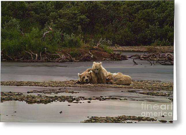 Brown Bear And Cubs Taking A Break From Fishing For Salmon Greeting Card by Dan Friend