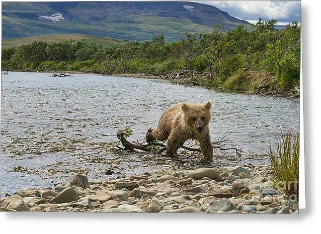 Brown Bear Cub Walking Up Stream Trying Keep Up With Mom Greeting Card by Dan Friend