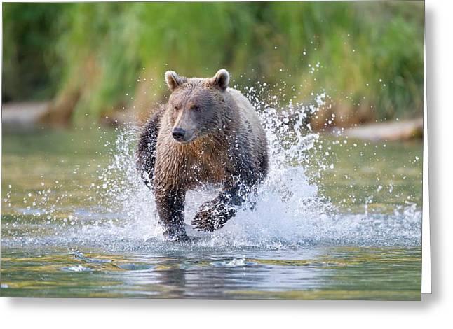 Brown Bear Running In Water Greeting Card by John Devries