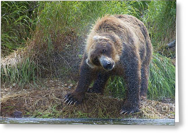 Brown Bear Shaking Water Off After An Unsucessful Salmon Dive Greeting Card by Dan Friend
