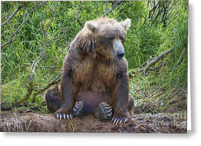 Brown Bear Sitting Waiting For Salmon Greeting Card by Dan Friend