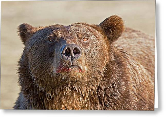 Brown Bear Sniffing Air Greeting Card by John Devries
