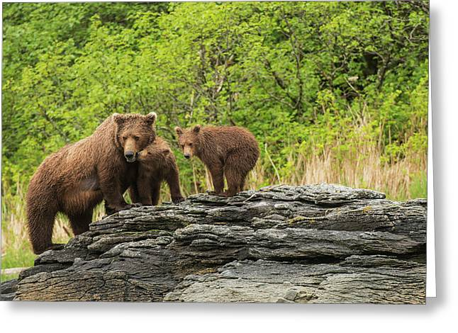 Brown Bear Sow And Cubs In Kukak Bay Greeting Card by Carl Johnson