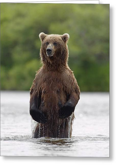 Brown Bear Sow Standing In River Greeting Card by John Hyde
