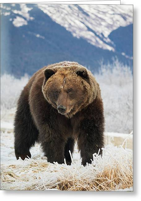 Brown Bear  Ursus Arctos  In The Frosty Greeting Card by Doug Lindstrand