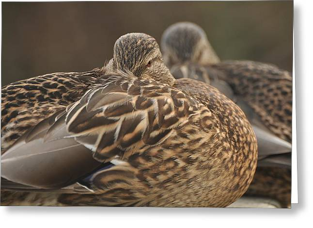 Greeting Card featuring the photograph Brown Beauty  by Sabine Edrissi