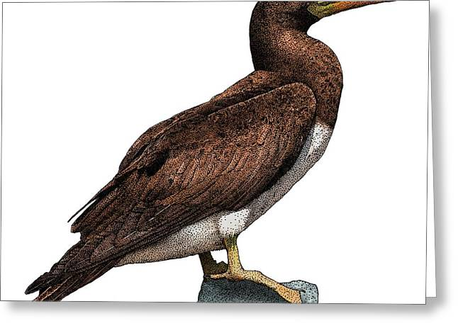 Brown Booby Greeting Card by Roger Hall