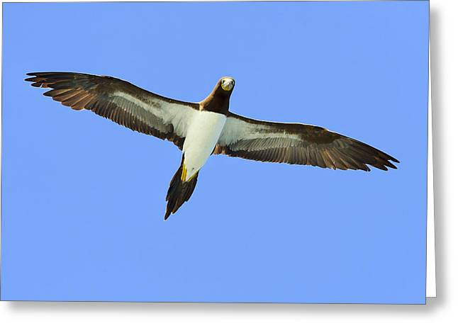 Brown Booby Greeting Card by Tony Beck
