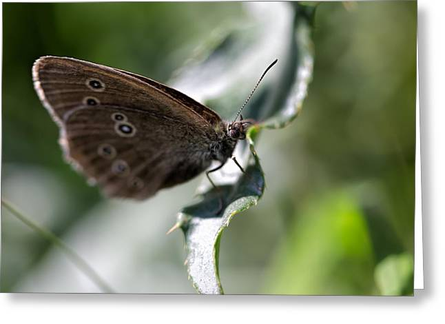 Greeting Card featuring the photograph Brown Butterfly On Leaf by Leif Sohlman