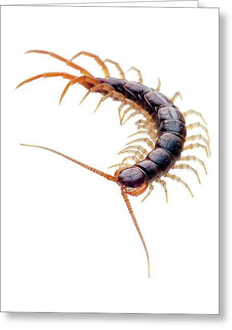 Brown Centipede Greeting Card