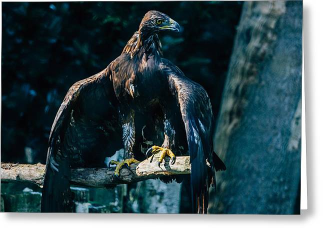 Brown Eagle Greeting Card by Pati Photography
