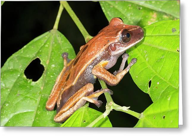 Brown Eyed Treefrog Greeting Card