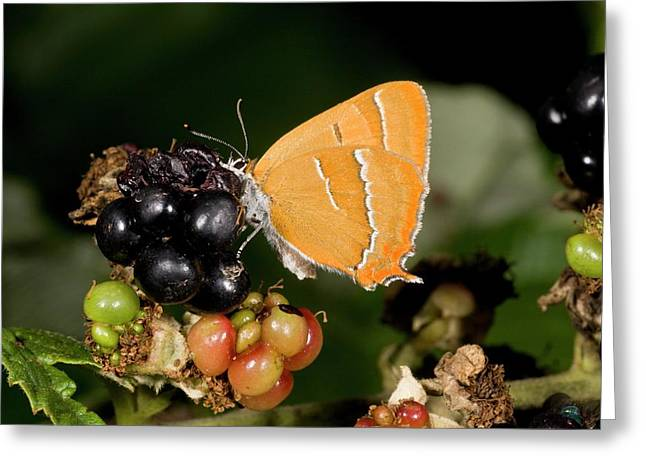Brown Hairstreak Butterfly On Blackberry Greeting Card by Bob Gibbons