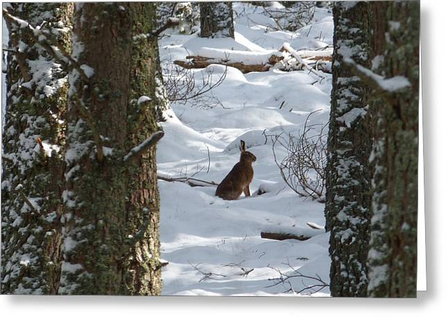 Brown Hare - Snow Wood Greeting Card by Phil Banks