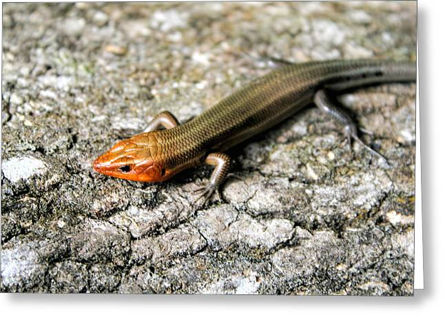 Brown Headed Skink Greeting Card