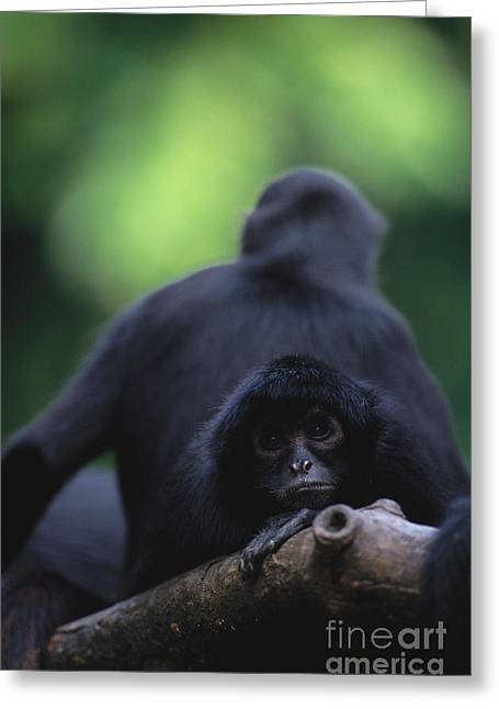 Brown-headed Spider Monkey Greeting Card