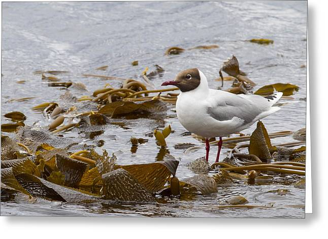 Brown Hooded Gull Greeting Card