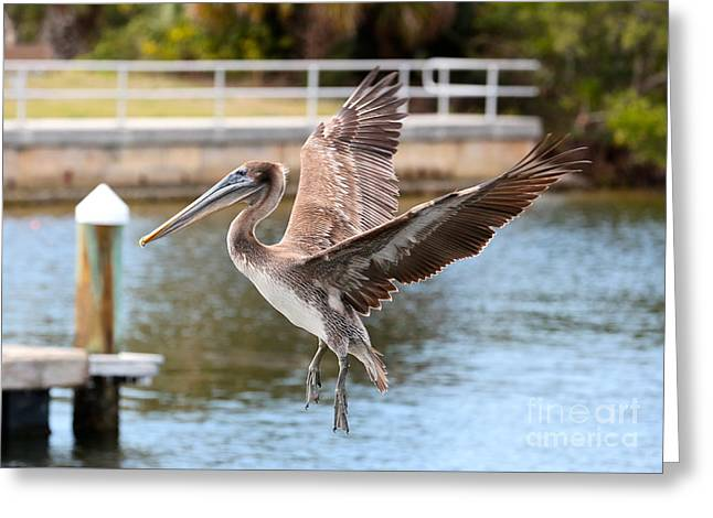 Brown Pelican Approach Greeting Card
