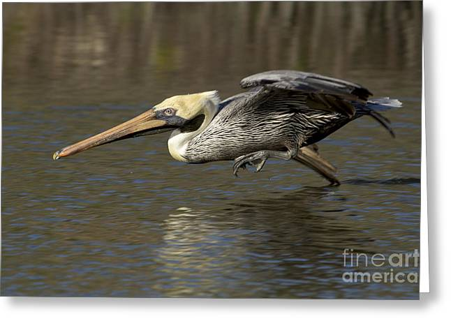 Greeting Card featuring the photograph Brown Pelican Fishing Photo by Meg Rousher