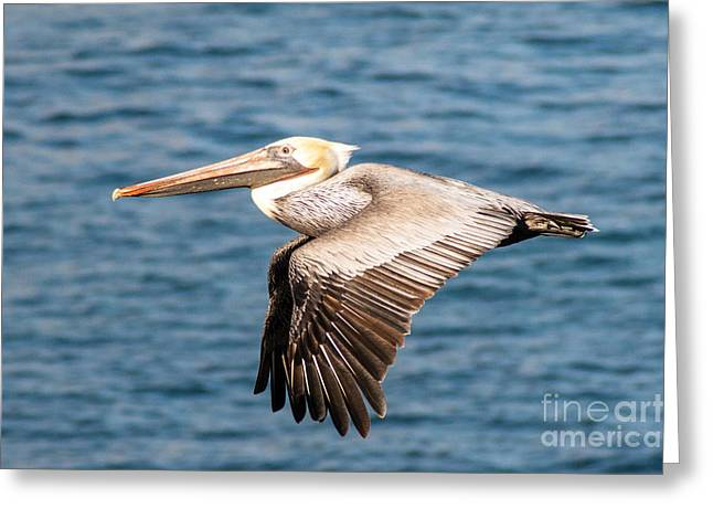 Brown Pelican Flying Greeting Card by Darleen Stry