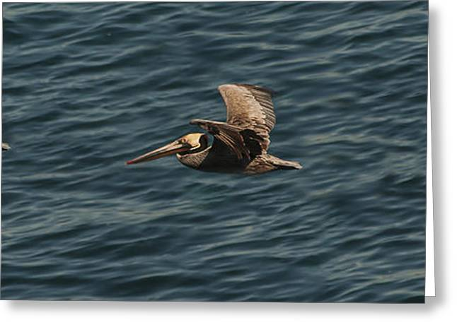Brown Pelican Flying Panorama Greeting Card