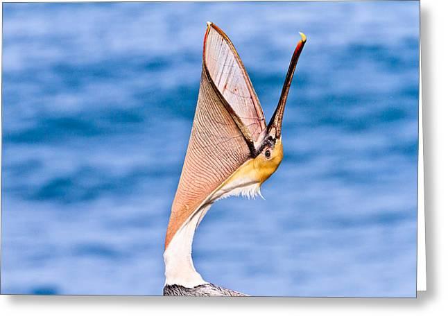 Brown Pelican - Head Throw Greeting Card