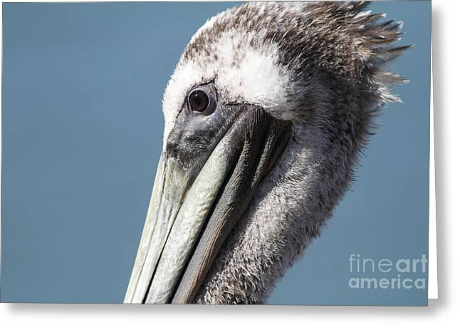 Brown Pelican In Profile 7d21771 Greeting Card by Wingsdomain Art and Photography