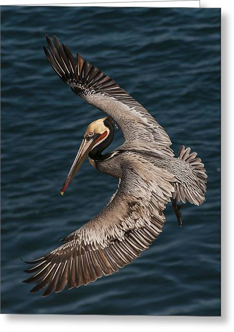 Brown Pelican Landing 2 Greeting Card