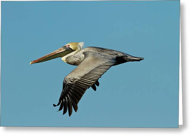 Brown Pelican (pelecanus Occidentalis Greeting Card by Larry Ditto