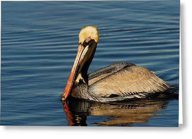 Brown Pelican Greeting Card by Stefan Carpenter