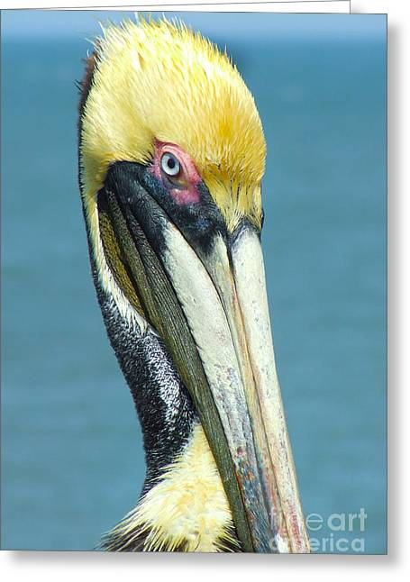 Brown Pelican Greeting Card by Stuart Mcdaniel