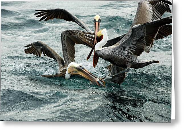 Brown Pelicans Stealing Food Greeting Card by Christopher Swann