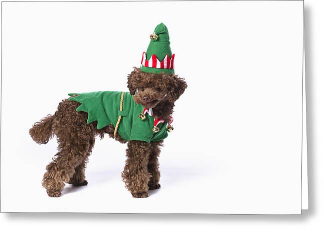 Brown Poodle With Christmas Jester Greeting Card by Corey Hochachka