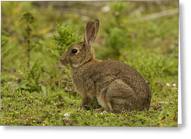 Brown Rabbit Greeting Card by Paul Scoullar