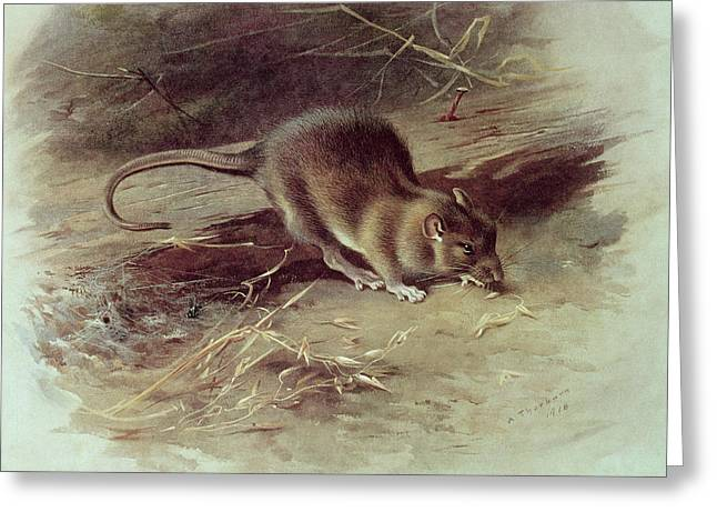 Brown Rat Rattus Norvegicus 1918 Coloured Engraving Greeting Card by Archibald Thorburn