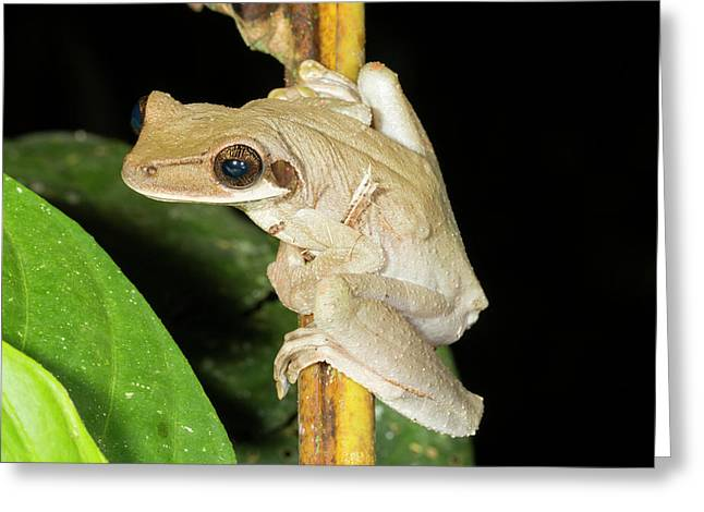 Brown Sided Bromeliad Treefrog Greeting Card