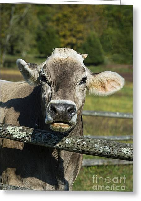 Brown Swiss Cow Greeting Card by John Greim