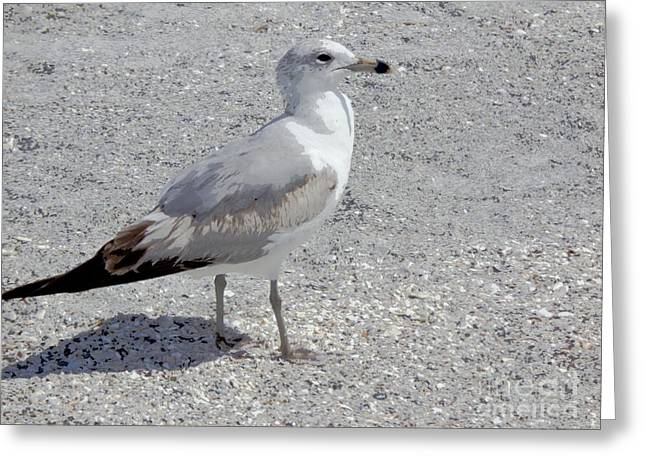 Brown Tailed Gull Greeting Card